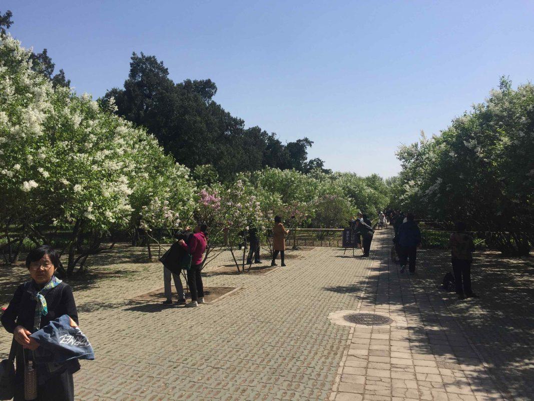 Temple of Heaven in 2018 - Cherry Blossoms in Beijing