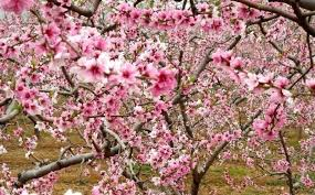 Pinggu's Peach Groves - Cherry Blossoms in Beijing