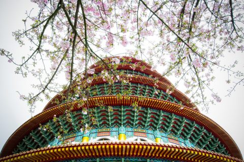 Temple of Heaven - Cherry Blossoms in Beijing