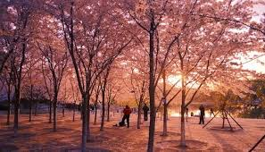 Yu Yuan Tan Park - Cherry Blossoms in Beijing